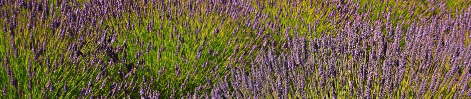 Lavender field in Washington State