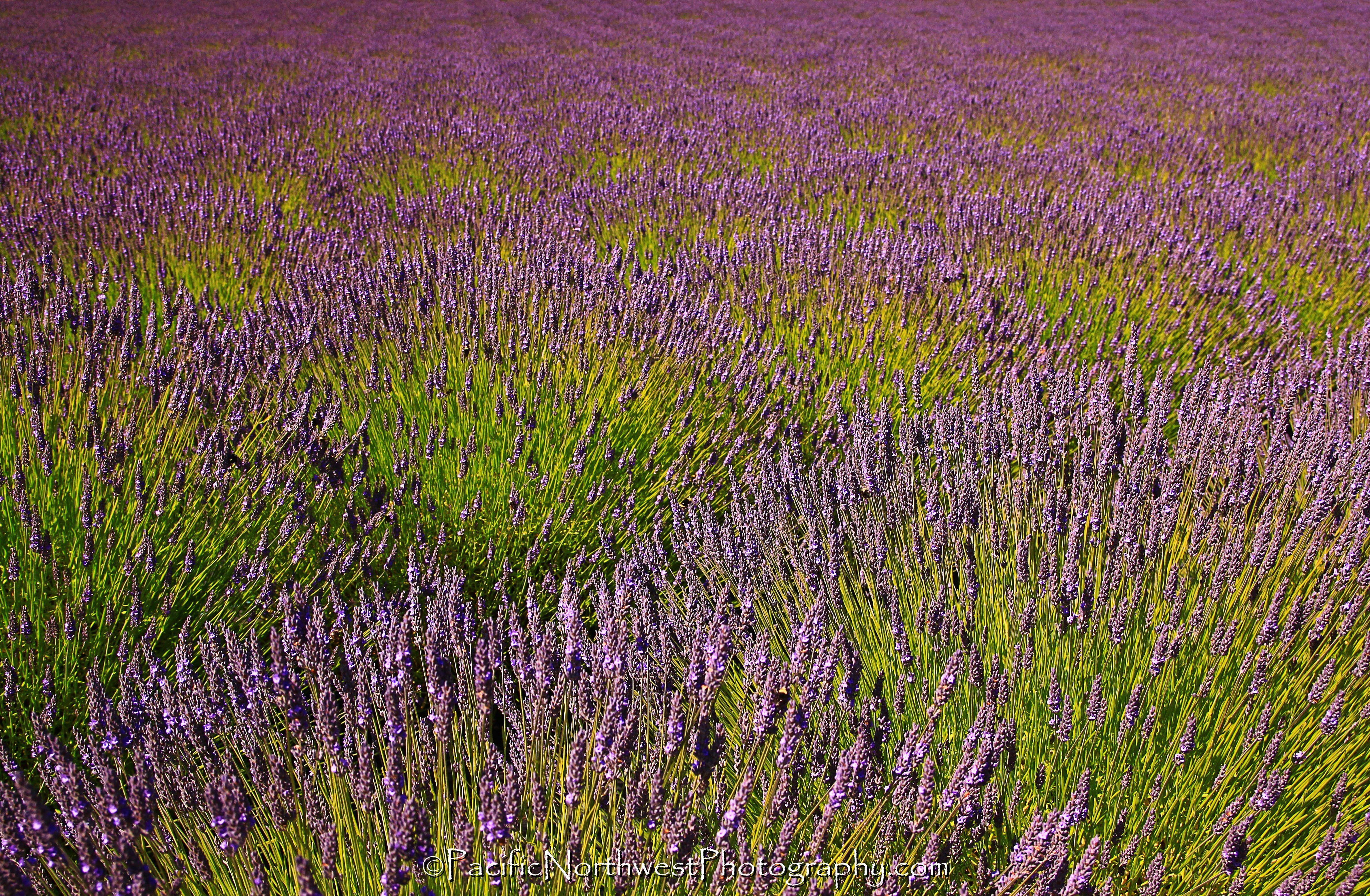 Sea of Lavender in San Juan Island, WA