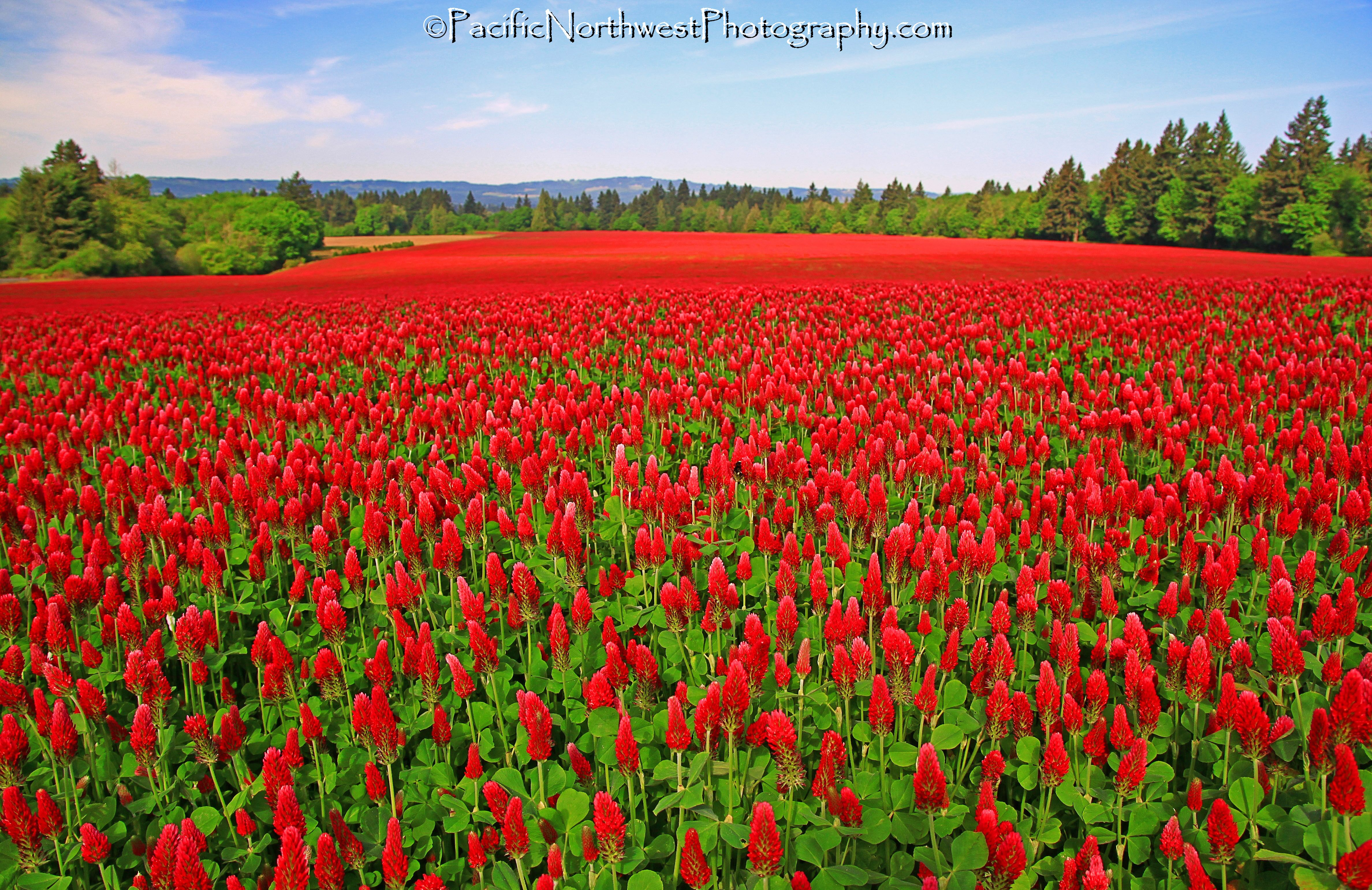 A sea of red flowers and country sky