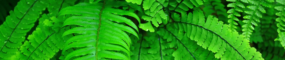 Pacific Northwest Fern